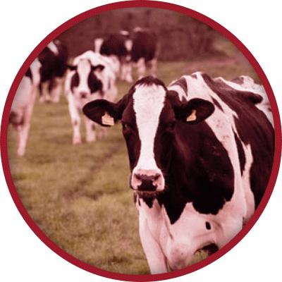 Dairy Cows walking towards camera