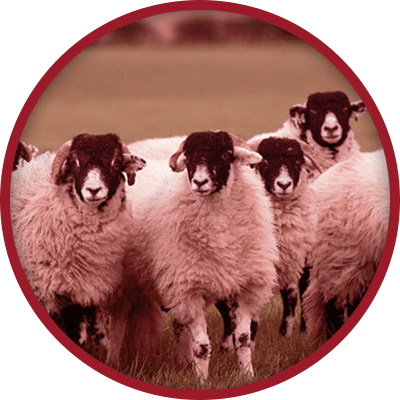 Swaledale sheep looking up