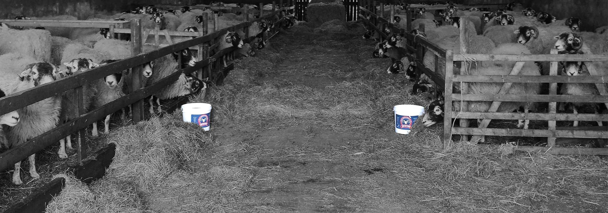 Sheep inside shed with Bridgedales Nutrition Mineral Tubs