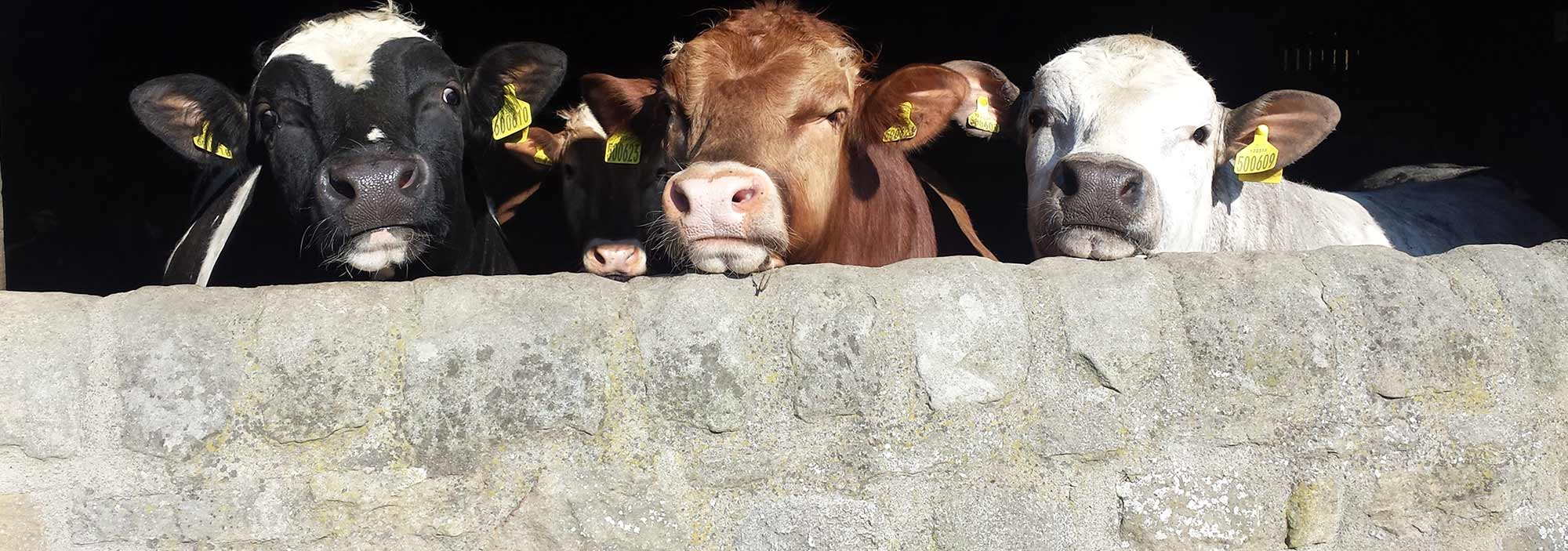 Three cows looking over a wall